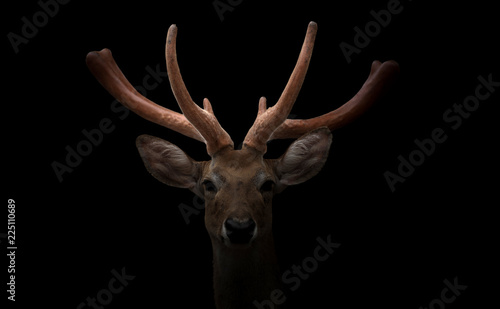 Printed kitchen splashbacks Deer eld deer (Rucervus eldi) head