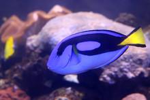 Fish : Blue Tang, Regal Tang, ...