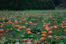 Pumpkins In A Wagon And Pumpkin Patch Closeups