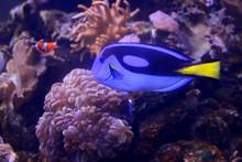 Fish : Blue Tang, Regal Tang, Palette Surgeonfish, Royal Blue Tang (Paracanthurus Hepatus)