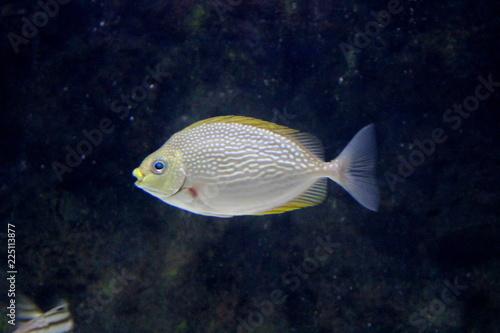 Photo  Fish : Streaked Spinefoot (Siganus Javus)