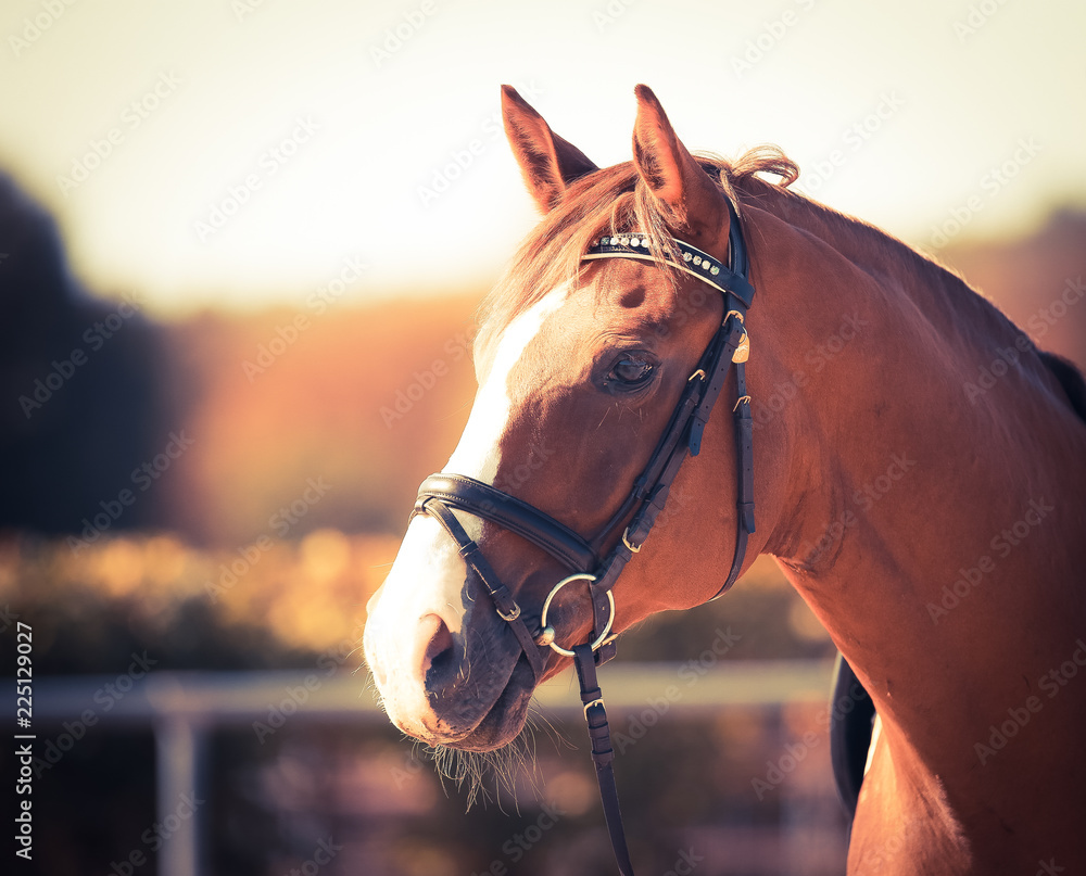 Fototapeta Horse, Fox, with bridle in the head portraits in the evening autumn light..