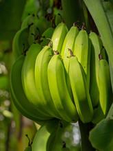 Bunch Of Bananas Closeup. Fruit Still Ripening On Tree, Green, Unripe.