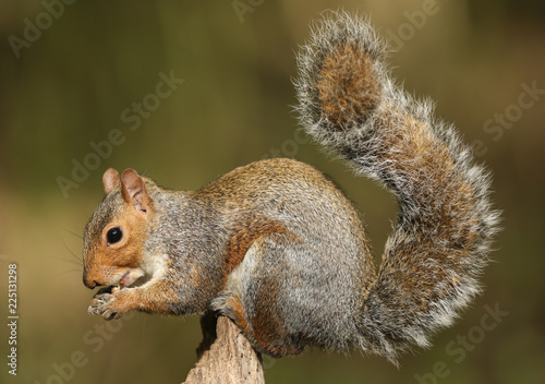 Spoed Foto op Canvas Eekhoorn Grey Squirrel (Sciurus carolinensis) eating a nut sitting on a log.