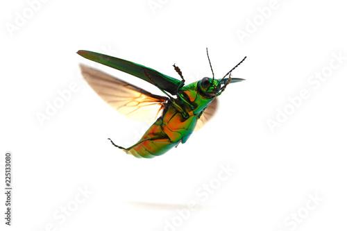 タマムシの飛翔