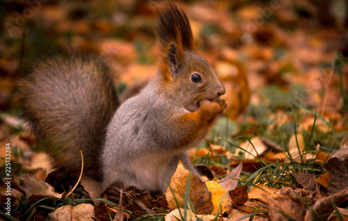 Foto op Canvas Eekhoorn Squirrel nibbles a nut in the autumn Park