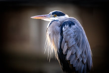 Close Up Of A Grey Heron Lite Up By The Sun