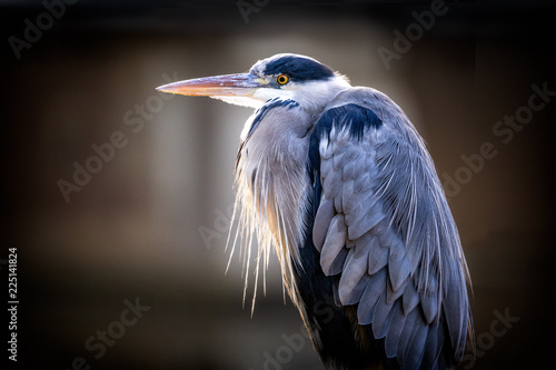 Tela Close up of a grey heron lite up by the sun