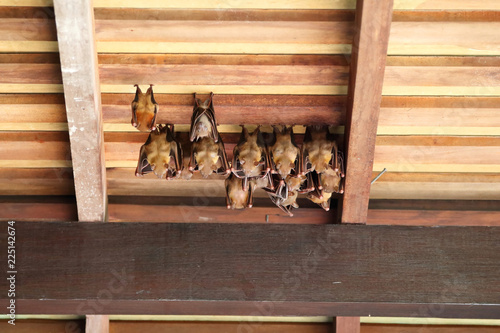 Lesser Dog-Faced Fruit Bats 1