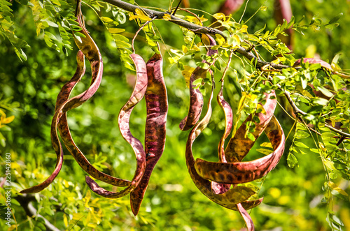 Fotografía Close up of the long red pods of a honey locust on a sunny day in springtime