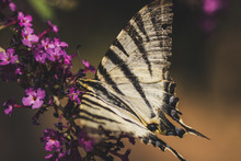 The Scarce Swallowtail (Iphiclides Podalirius) Feeding On A Purple Flower