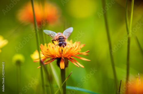 Tuinposter Bee Bee collects nectar from flower crepis alpina