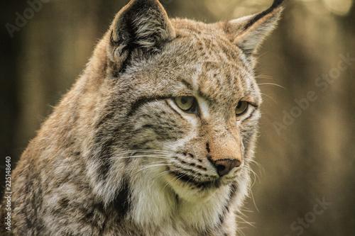 Fotobehang Lynx Luchs