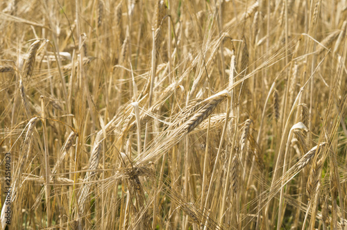 Fotografía  Сбор урожая. Золотые колосья спелой пшеницы на поле