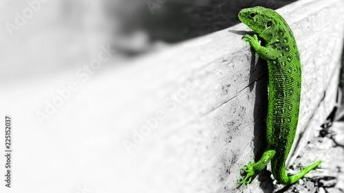 Foto auf AluDibond Chamaleon Zielona jaszczurka