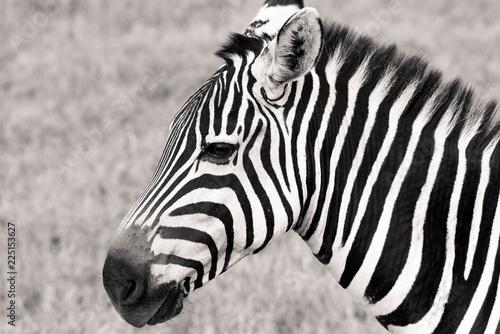 Tuinposter Zebra portrait of zebra