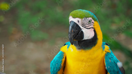 Foto op Aluminium Papegaai close up of a yellow macaw parrot in the amazon rainforest