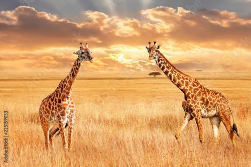 Żyrafy w afrykańskiej sawannie. Dzika przyroda Afryki. Artystyczny obraz afrykański.