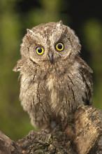 Otus Scops, Eurasian Scops Owl, Small Owl, Perched On A Branch