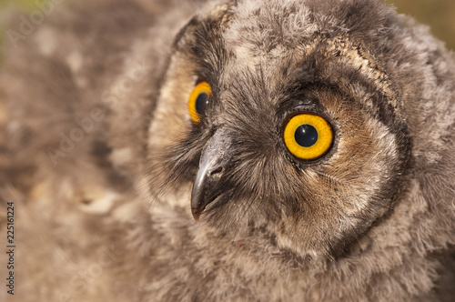 Cadres-photo bureau Chouette Long-eared owl, young (Asio otus), portrait