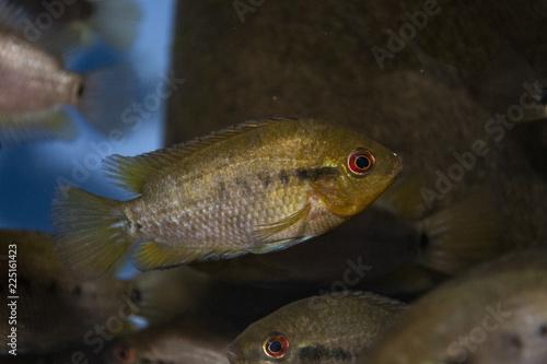 Fotobehang Herotilapia multispinosa (Rainbow Cichlid) juvenile in freshwater tropical aquarium
