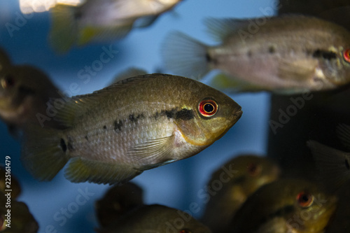 Fotobehang Vissen Herotilapia multispinosa (Rainbow Cichlid) juvenile in freshwater tropical aquarium