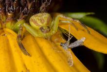 Crab Spider With A Captured Mi...