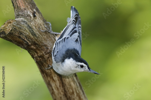 Fotografía Male White-breasted Nuthatch perched on a dead branch