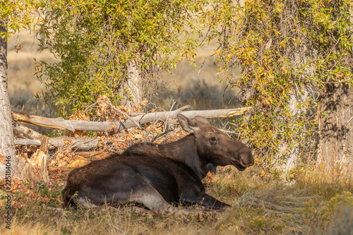 Photo  Cow Shiras Moose in Fall
