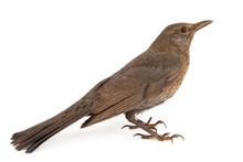 Female Eurasian Blackbird (Tur...