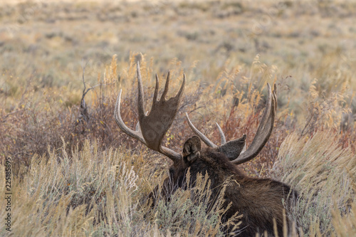 Photo  Bull Shiras Moose in the Fall Rut