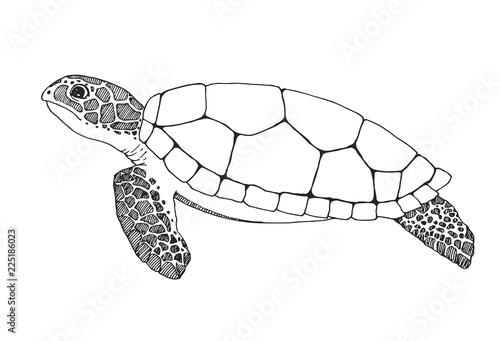 Fotografia Sketch sea turtle isolated on white background