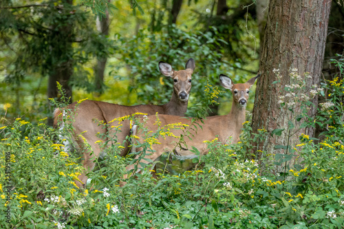 Photo Mother and child white-tailed deer