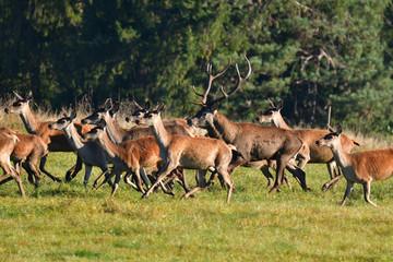 Naklejka na ściany i meble Herd of deer with antlers and buckskin running in rut season