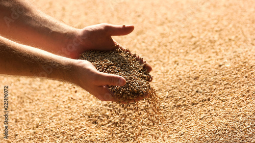 Obraz Hands with grain corn. Male farmers hands holding malt or cereal grains. - fototapety do salonu