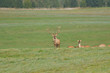 deer stag with antlers to rut on the meadow