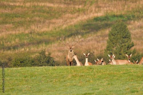 Poster Cerf Wildlife Deer defends and keep watching herd of deerskin during the rut on the meadow