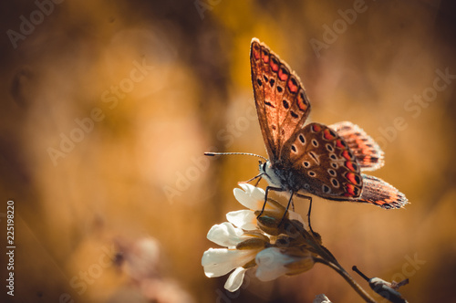 Butterfly and autumnal flower of the field. Sunny card Wallpaper Mural