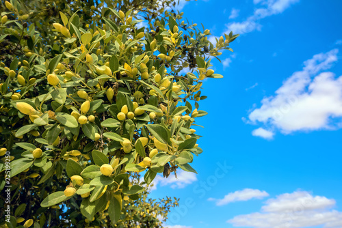 Olive tree against blue sky background