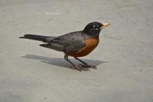 Male American Robin (Turdus Mi...