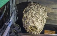 Huge Hornets Nest  Vespa Crabr...