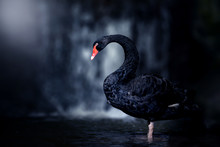 Beautiful Black Swan (Cygnus A...