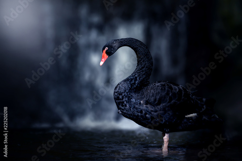 Fotografie, Obraz Beautiful Black Swan (Cygnus atratus). Copy space