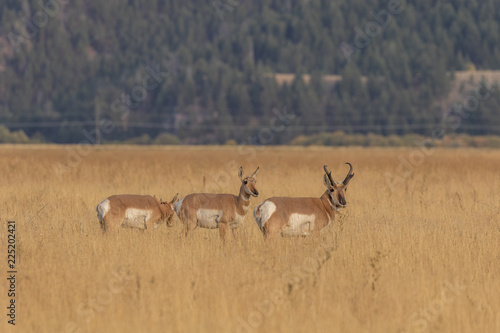 Pronghorn Antelope in the Fall Rut