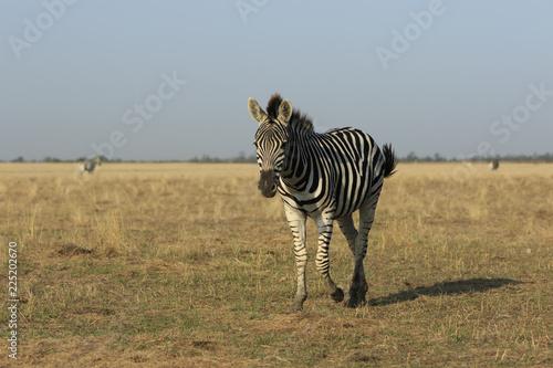 Single wild zebra walks in a field in ukrainian reserve Askania-Nova