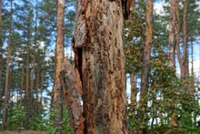 Part Of A Sick Brown Pine With Dry Fallen Bark In The Forest