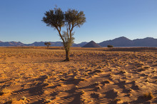 Three Camelthorn Trees In The Desert