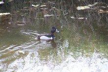 A Ring Necked Duck Swimming In A Pond