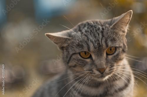 Fotografía  emotional grey cat of British breed