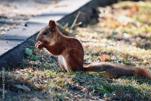 Foto op Canvas Eekhoorn The squirrel eats a nut at the autumn glade in a park